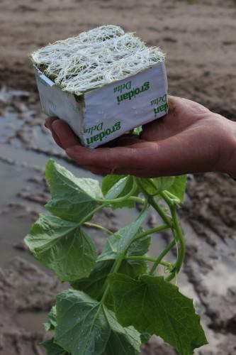 Stiprus agurkų šaknynas