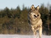 Nuotrauka iš vilkai.lt