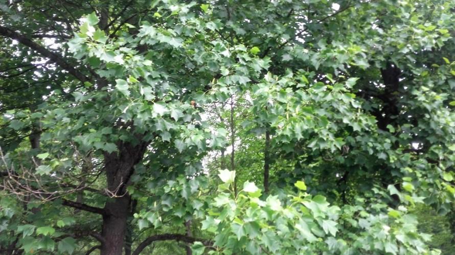 Tulpmedis