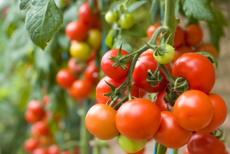 Daržo derlius_Sėklų bandyminiai laukai 1