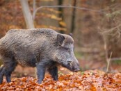 1400x700driven-hunting-for-wild-boar